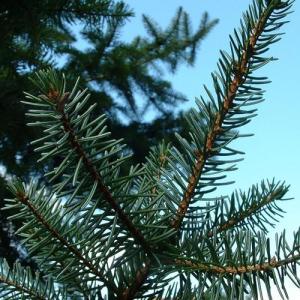 epicea_arbre_resineux_hiver_sapin