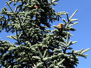 290px-Abies_magnifica_8016t.jpg