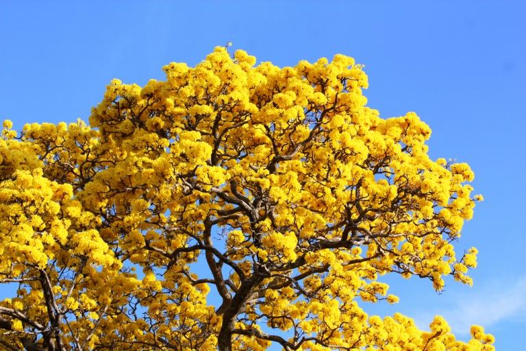 ipé arbre